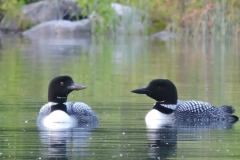 A pair of loons on Lake Huron.
