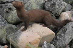 A curious mink, Drummond Island, Lake Huron